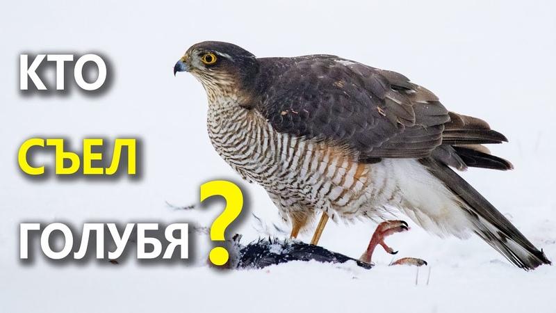 Кто съел голубя