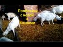 Поведение козлов и козы Сажи порождает проблемы