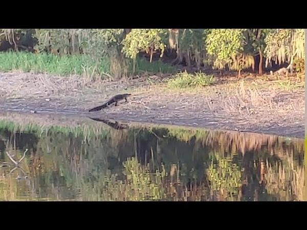 Аллигатор ловит поросенка дикой свиньи