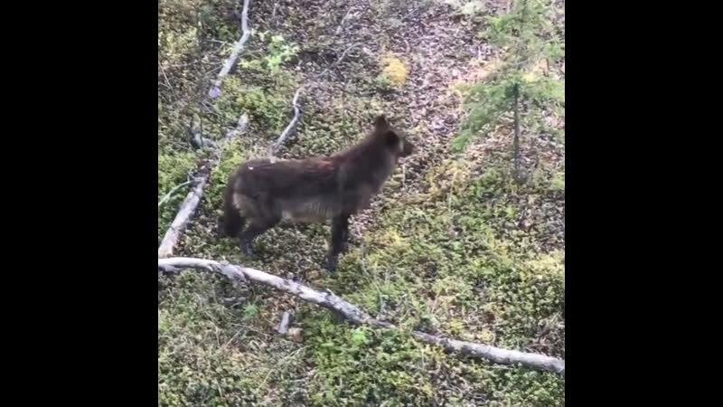 Рысь на Аляске