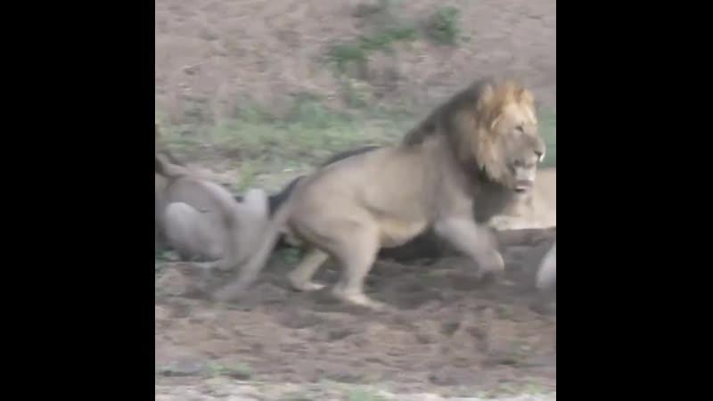 У львов началась перепалка во время трапезы, во время которой их обед смог сбежать 🦁
