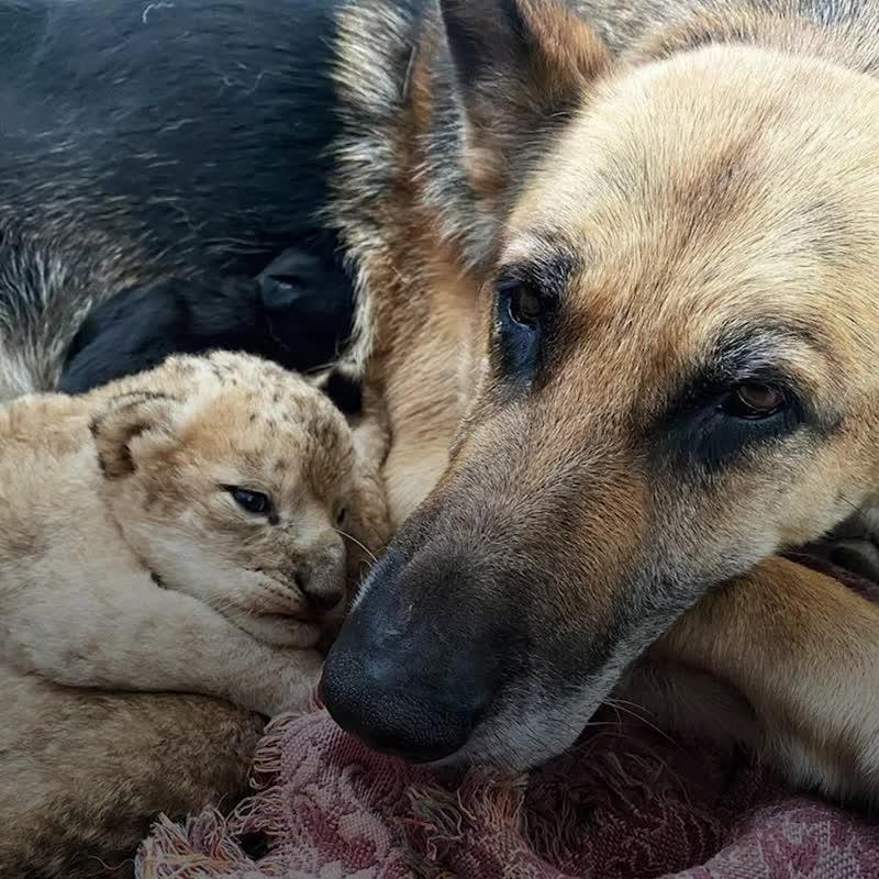 Собака стала мамой двух брошенных львят