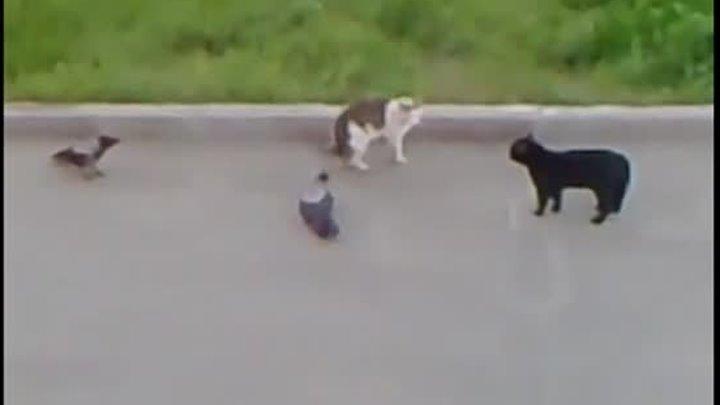 Битва двух котов которых разнимают вороны старый ролик но прикольный