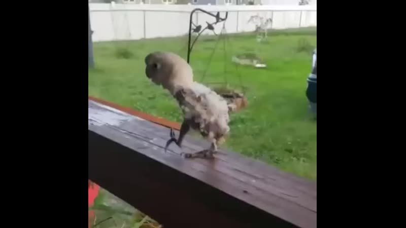 Птенец танцует