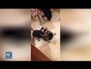 Енот помогает животным в ростовской ветеринарной клинике 21 5 2019 Ростов на Дону Главный