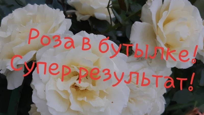 Череночник из бутылки Черенкование роз удаётся на ура 🍀🤩