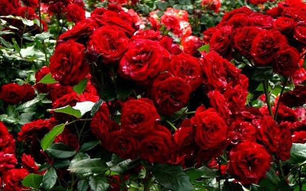 Советы по выращиванию роз Для того, чтобы роза обильно цвела и радовала нас весь сезон, необходимо создать определенные условия для ее развития. Одним из таких условий является правильный выбор