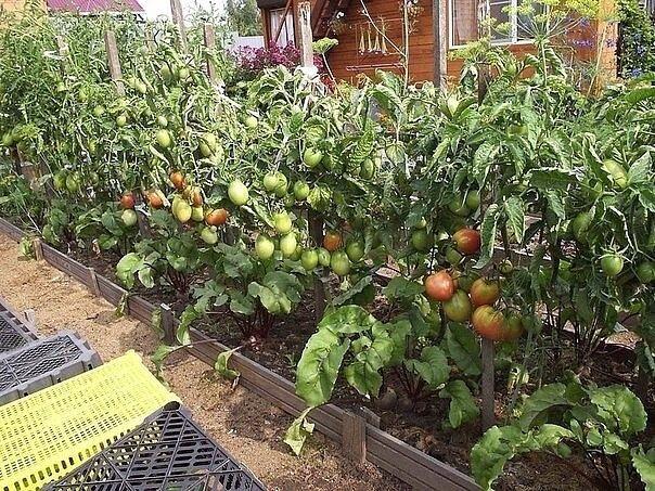 Предпочитаете выращивать томаты в открытом грунте, тогда эти советы для Вас: 1. При пересадке рассады в открытый грунт в лунку добавьте горсть золы и горсть плодородной почвы. Поверх грядки тоже