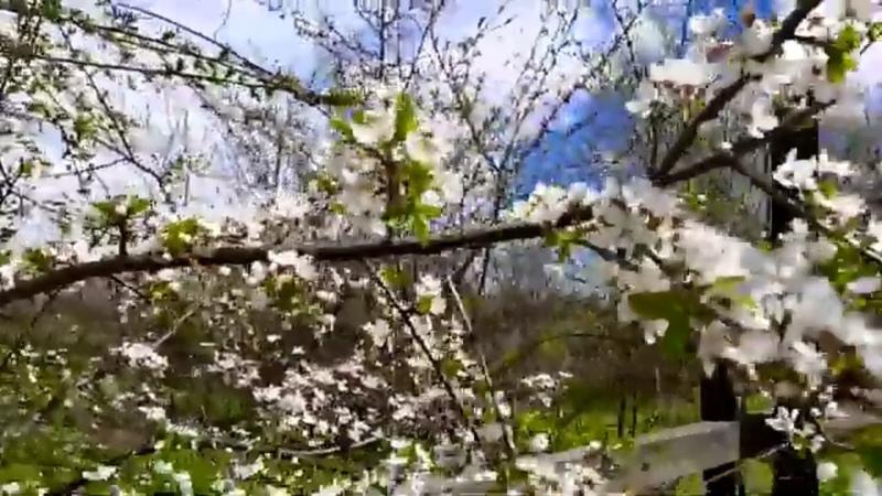 ДАЧНЫЙ БЛОГ. КРАСИВЫЕ ЦВЕТЫ В САДУ,ЦВЕТЁТ АБРИКОС!DACHA BLOG. BEAUTIFUL FLOWERS IN THE GARDEN