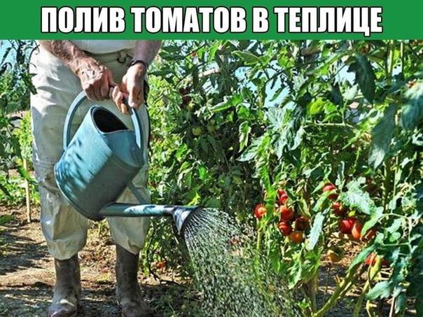 Полив томатов в теплице Первый раз томаты поливают через 7 дней после пересадки в теплицу. Затем почву увлажняют по мере пересыхания верхнего слоя. Кусты поливают под корень вечером или ранним