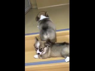 Милое видео: щенок пытается помочь своему другу взобраться на ступеньку