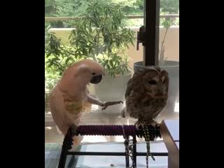 Когда попугай не знает, что такое личное пространство.