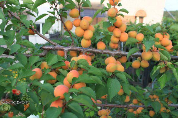 Нвероятно вкусный абрикос сорта Лель сочная сладость макушки лета. Несмотря на то, что продуктивность сорта абрикоса Лель является умеренной, его очень часто выращивают на участках и садах.