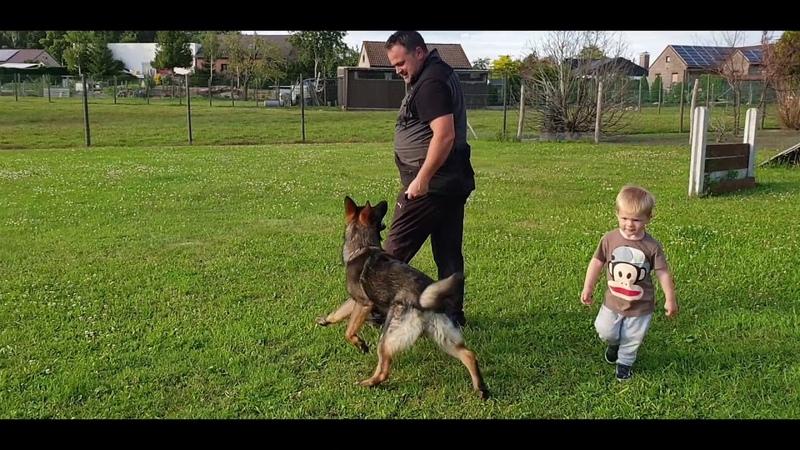 Aldo Mersak - 7 months old (tracking obedience)