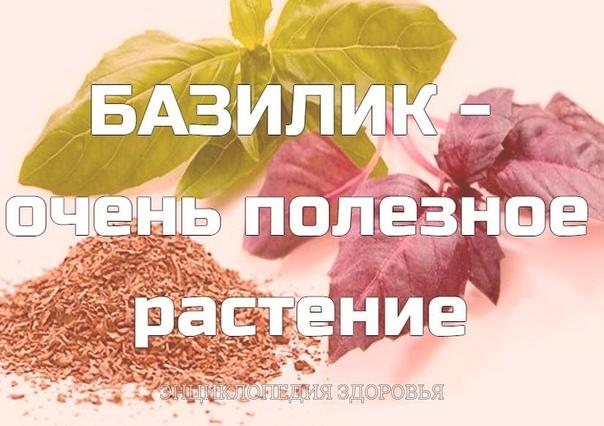 БАЗИЛИК - очень полезное растение.