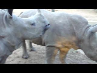 А вы знали, как на самом деле звучат носороги