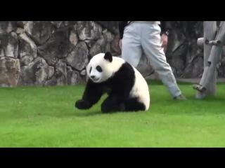 Панда немного хулиганит