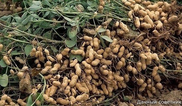 Арахис: как вырастить на даче Любимый многими земляной орех можно вырастить на садовом участке! Нужно только посеять подходящий скороспелый сорт и выполнять все рекомендованные агротехнические