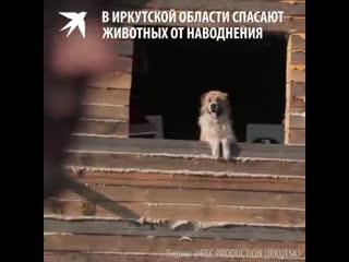 В  Иркутской области спасают животных после наводнения