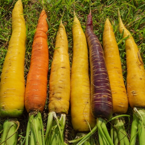 Сорта моркови с необычным цветом корнеплодов завоевывают рынок. Сорта моркови с необычным цветом корнеплодов не так широко представлены на рынке, как сорта с оранжевым цветом сердцевины и