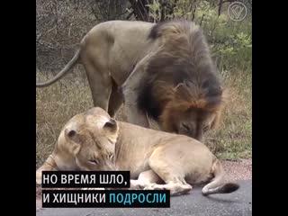 Женщина стала мамой для двух львят-сирот