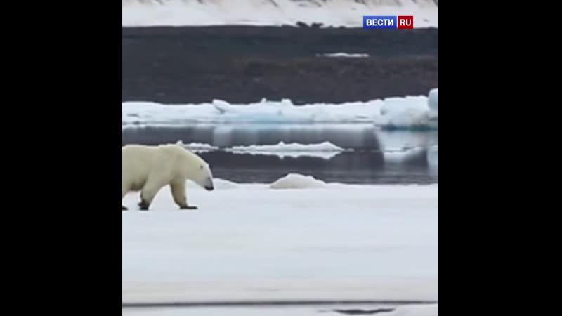 Какая добрая новость! В Камчатском крае разворачивается операция по спасению белого медведя.