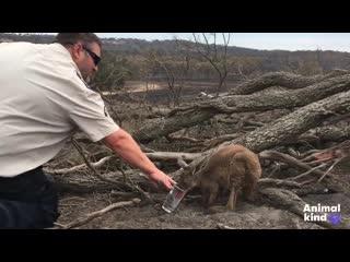 Лесные пожары в Австралии: как  спасают животных..