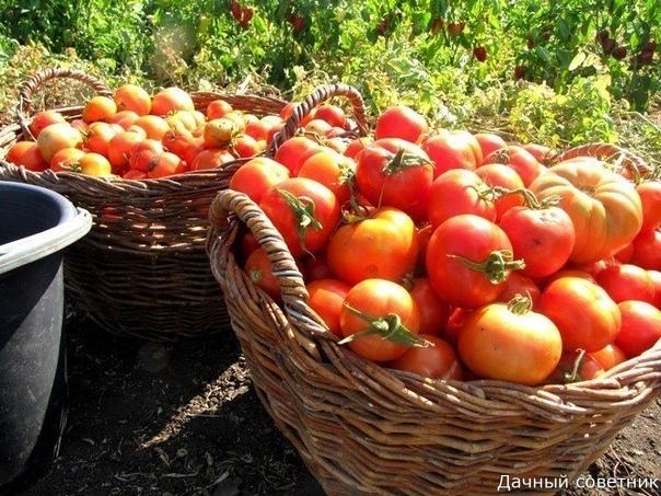 «Волшебный бальзам» для роста помидоров от садовода-огородника Владимира Андриянина