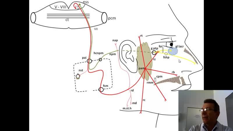 Лицевой нерв анимационная схема проф В А Изранов