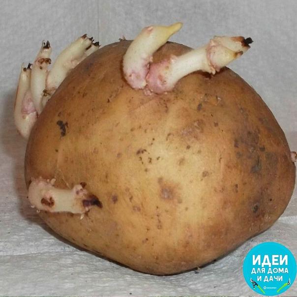 Как экономно размножить картофель