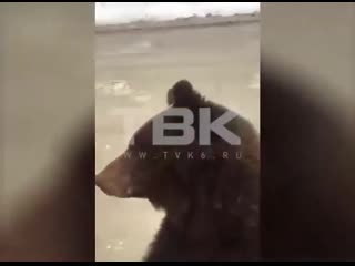 Медведь вышел на дорогу в Северо-Енисеиском раионе края