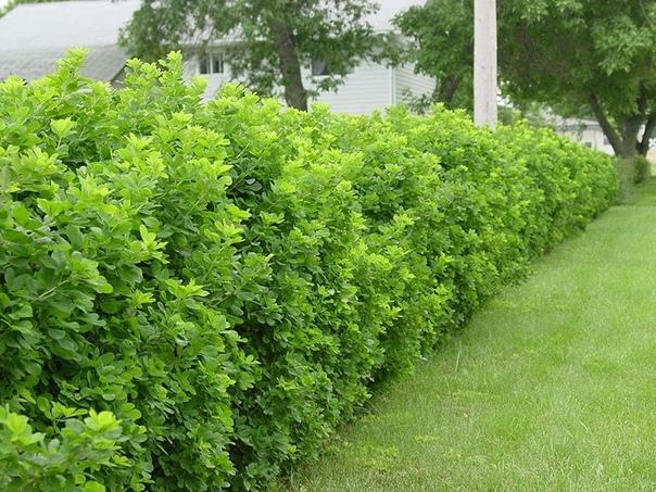 Кустарники для живой изгороди, не требующие регулярной стрижки и обрезки.