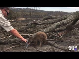 Как люди пытаются спасти животных от пожаров в Австралии