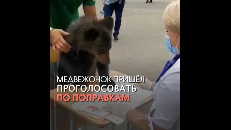 Медвежонок пришёл проголосовать по поправкам