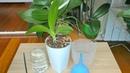 Детка орхидеи Первый полив Почему через десять дней