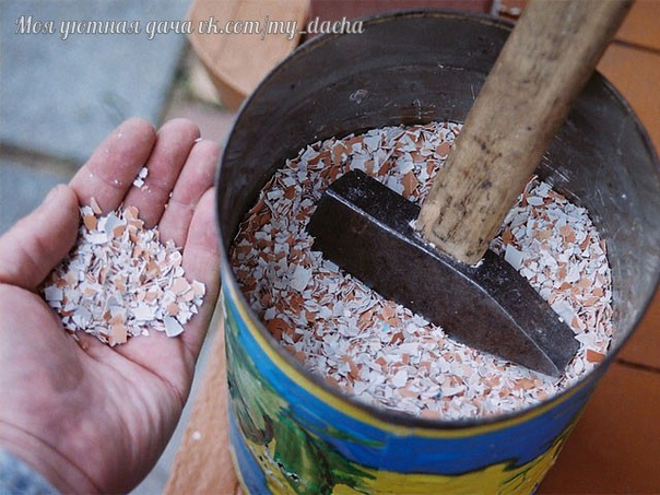 Яичная скорлупа на даче и дома Скорлупу можно использовать на огороде в измельченном виде или в виде настоя. Чем мельче кусочки яичной скорлупы, тем легче вещества из нее усваиваются растениями.