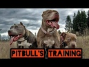 Сагчанги 2020. Тренировки боевых питбулей. Training of combat pitbulls