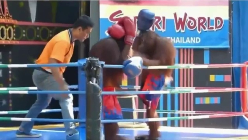 Смешное шоу обезьян на ринге