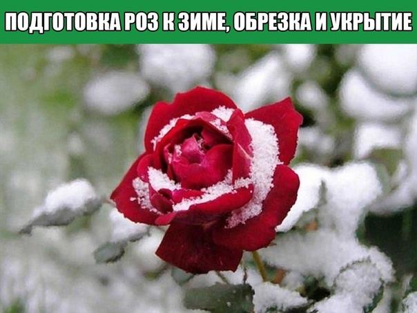 Подготовка роз к зиме, обрезка и укрытие