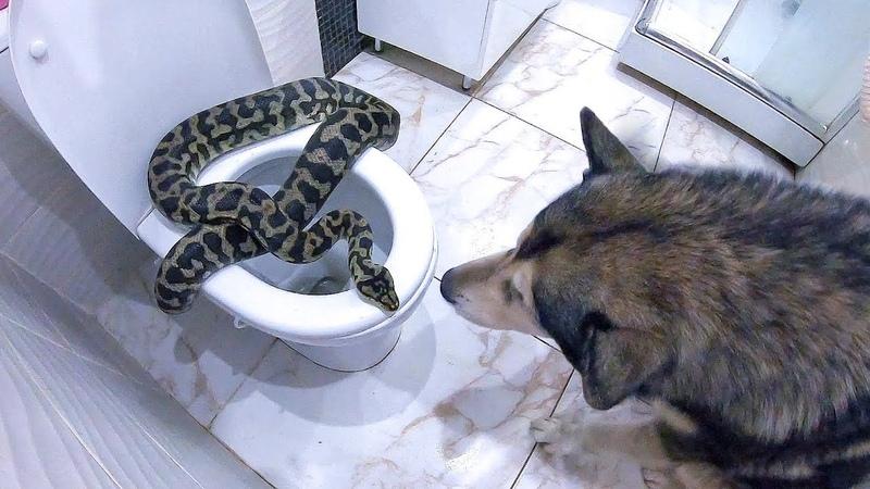ЗМЕЯ В УНИТАЗЕ реакция собаки на питона в доме