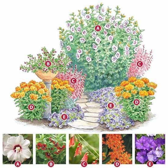 Душистый цветник для солнечного места Гибискус. Куфея. Пенстемон. Ваточник. Петуния. Цветы за 2-3 часа перед посадкой поливаем. Лучшее время для посадки цветов ранее утро, вечер или под