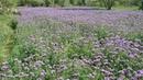 Doğa Yürüyüş Arıcılık Arı Otu Faselya çiçeği (phacelia)