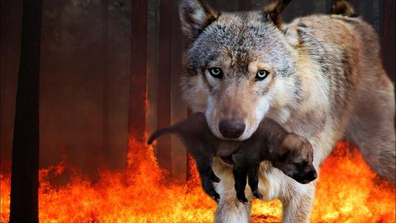 Волчица вынесла ВОЛЧОНКА из ГОРЯЩЕГО леса прямо к ЧЕЛОВЕКУ Сердце Игоря не выдержало и он забрал