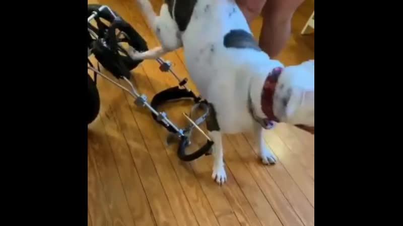 Парализованный пёсик может снова ходить