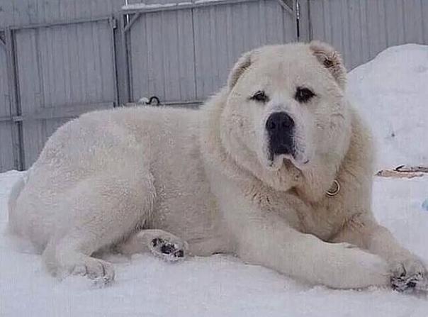 Купили щенка, назвали Снежок... Спустя 2 года Снежок перерос в Сугроб)))