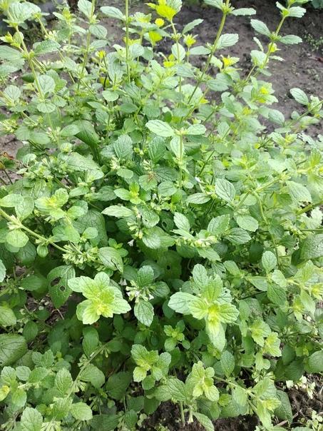 Клумба с лечебными травами! Пижма, тимьян пурпурный, тимьян белый, шалфей, мелисса лимонная, мелисса обыкновенна, чабрецА какие травы вы