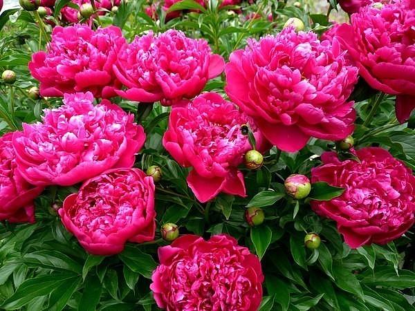 Ошибки при выращивание пионов, почему плохо цветут