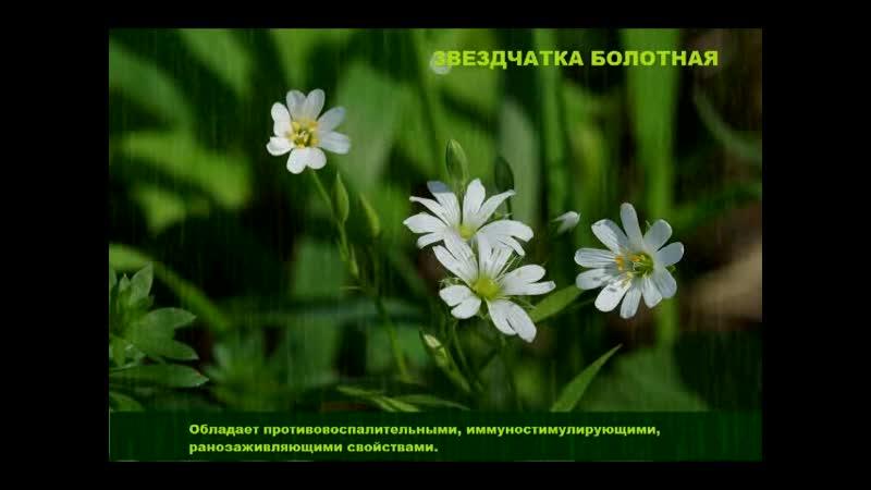 Лекарственные растения болота