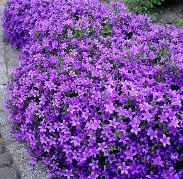 Колокольчик Пожарского! Это многолетнее травянистое растение с симпатичными цветками названо в честь немецкого ботаника Густава Пошарского, чья фамилия затем трансформировалась в более понятную